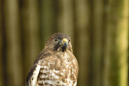 Beautiful American Red tailed hawk looking curious.