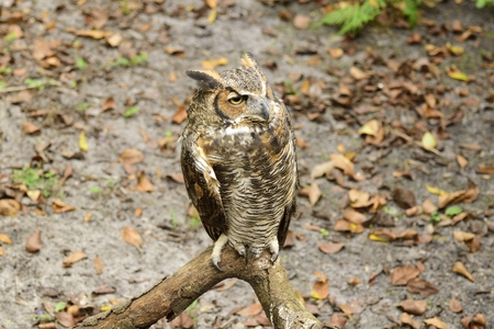 adaptable: Great horned owl resting on a branch.
