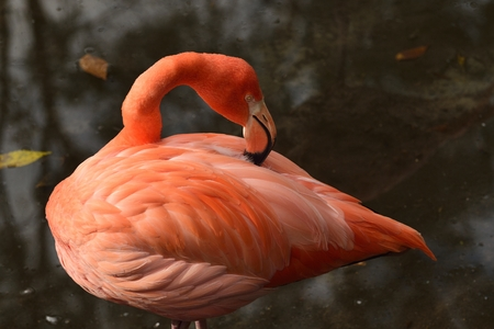 Beautiful pink flamingo resting in a pond. Stock Photo