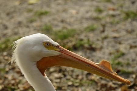 Profile of a breeding American White pelican.
