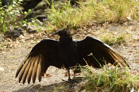 Anhingas bird resting with wings spread out to dry. Stock Photo