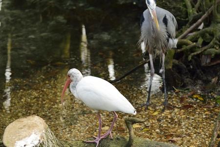 American white Ibis near a pond in Florida. Stock Photo