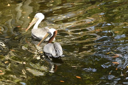 comically: Two brown pelicans swimming in a pond. Stock Photo