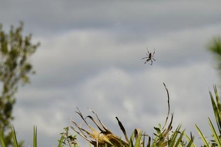 golden orb weaver: Golden Silk Orb Weaver Spider in a Web.