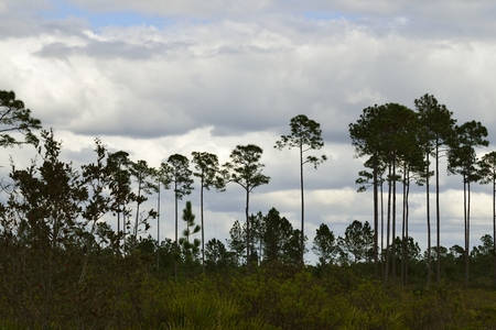 educacion ambiental: View of Seminole State Forest under a cloudy sky. Foto de archivo