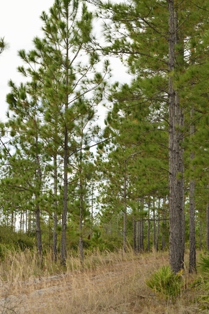 educacion ambiental: Pathway into the Seminole State Forest in Florida.