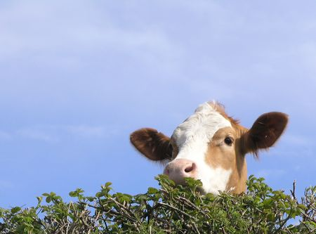Cow looking over hedge photo