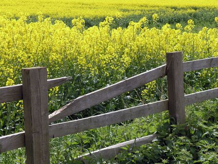 Broken fence leads to field of rape seed. Yorkhire, UK.