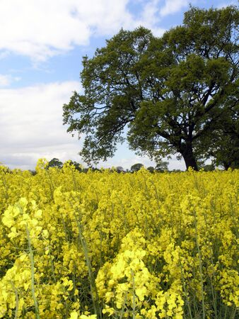 fever plant: Field of rape seed flowers Stock Photo