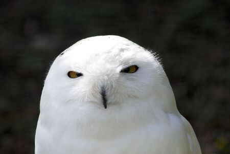 Snowy white owl looking at camera against dark background photo