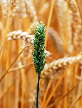 Closeup of wheat crop growing on UK farm Stock Photo - 3451040