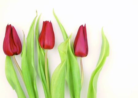 Close-up of three red tulips on white background photo
