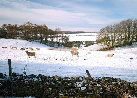 Sheep grazing in snow covered field on Yorkshire farmland photo