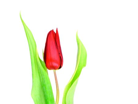 Single red tulip over a white background photo