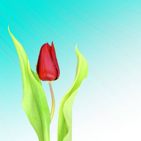 stipe: Single red tulip against blue abstract stipe pattern