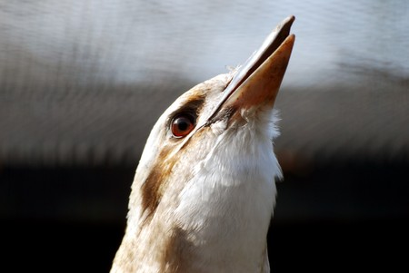 pecker: Closeup of laughing kookabura bird against out of focus background Stock Photo
