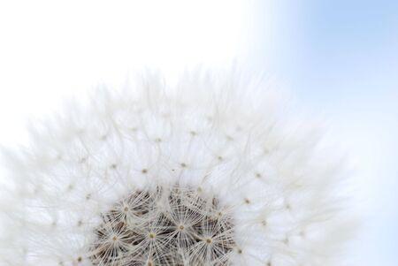 semilla: Diente de le�n contra el reloj de flores de color azul cielo nublado Foto de archivo