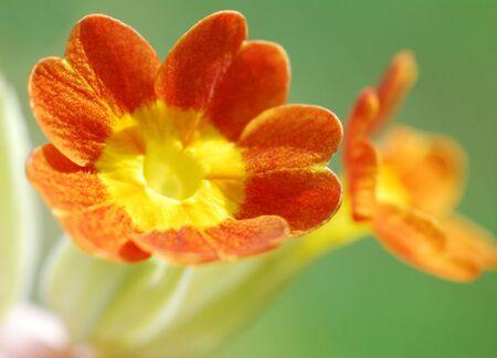 Macro image of cowslip flower growing in meadow