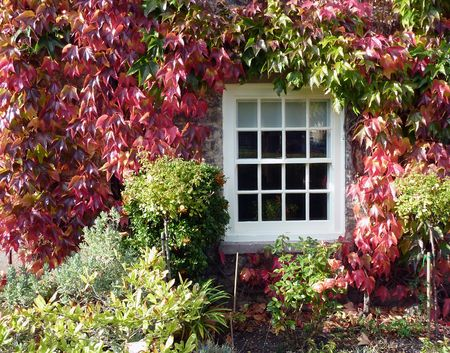 Colorful ivy clings to wall of house photo