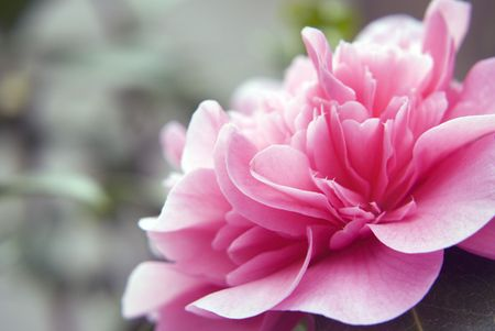 Close-up of camelia flower head with blur background