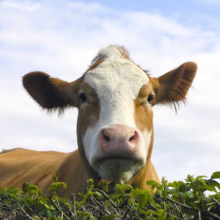 Close up of cow looking over hedge       photo
