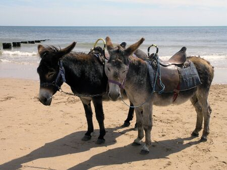 Two seaside donkeys resting from taking children on rides photo