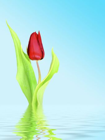 Single red tulip against blue background with flood effect photo