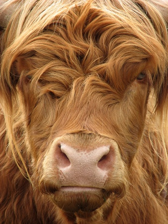 closeup cow face: Telephoto view of the face of a highland cow Stock Photo