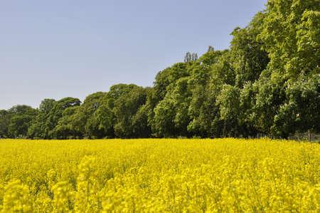 Landscape image of rape seed crop growing on farmland photo