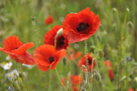 remembrance day: Field full of wild poppies taken on sunny day
