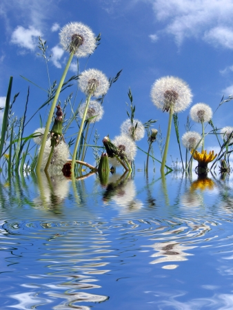 ripple effect: Closeup of dandelion clocks against blue cloudy sky with added ripple effect