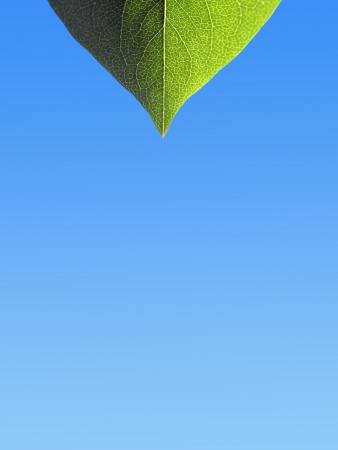 graduated: Closeup of leaf on blue graduated background  Stock Photo