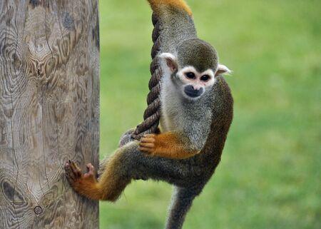Telephoto view of spider monkey in safari park. Stock Photo - 16541147