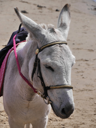 servitude: Closeup of grey coloured donkey waiting to give children a ride on beach