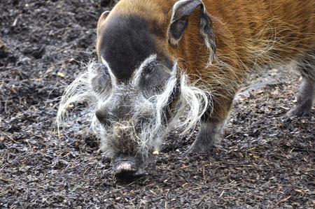 bush hog: Primer del r�o Rojo Hog
