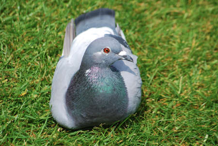 pidgeon: Domesticated grey colored pigeon resting on grass