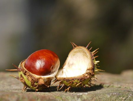 Open horse chestnut resting on brick wall with out of focus background photo