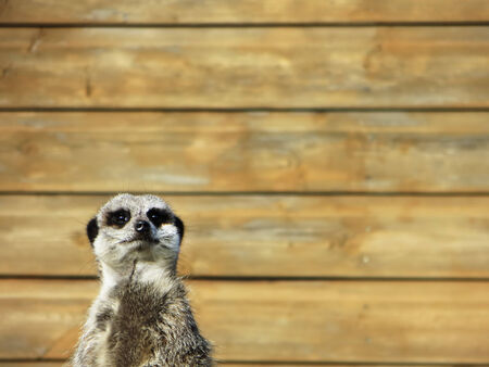 Closeup of a meerkat looking at the camera with wooden panel background. Banco de Imagens