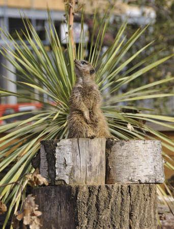 Meerkat sitting on logs looking at sky