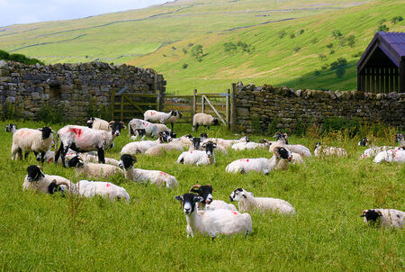 Yorkshire Dales: Sheep grazing in field in the Yorkshire Dales
