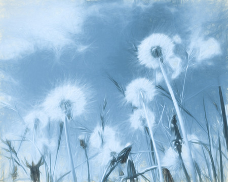 dandelion abstract: Closeup of blue toned dandelion clocks with art filter
