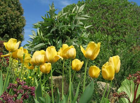 flower bed: Yellow tulips blossom in flower bed in Scarborough park