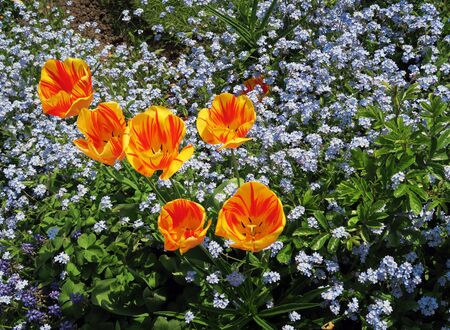 amongst: Yellow and orange tulips growing amongst for-get-me-not flowers Stock Photo