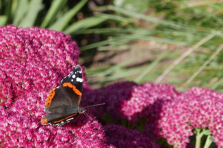 admiral: Red Admiral butterfly rests on summer garden flowers Stock Photo