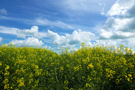 land plant: Rape crop in farmers field with summer blue sky Stock Photo