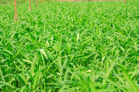 babosa: Babosa vegetal de China