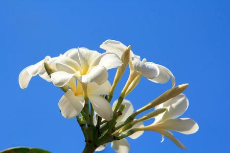 White flowers   Lan thom flower  photo