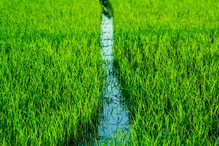 Tons of rice and rice paddies.