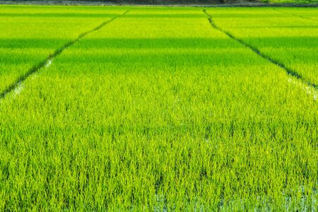 tons: Tons of rice and rice paddies.