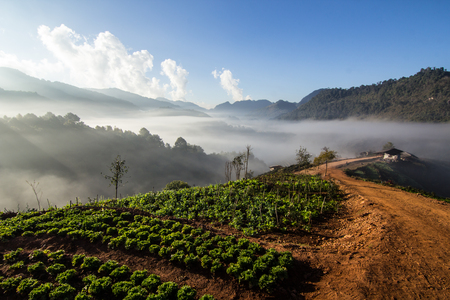 lettuces: This is sea of mist at Doi AngKhang in Thailand. Stock Photo